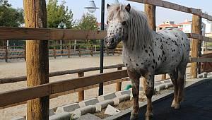 Hayvanat Bahçesinin Yeni Konuğu Küçük Midilli Atı Oldu