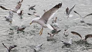Tekirdağ'da Martıların Balık Kapma Mücadelesi