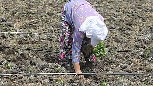 Balıkesir'de Tarım İşçilerinin Aşırı Sıcak Havada Zorlu Mesaisi