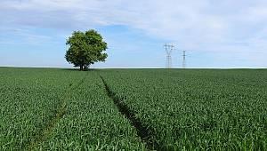 Buğday Alım Fiyatları Çiftçilerin Yüzünü Güldürdü