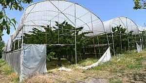 Kirazı Serada Yetiştirerek Hem Ağacı Hem Meyvesini Koruyor