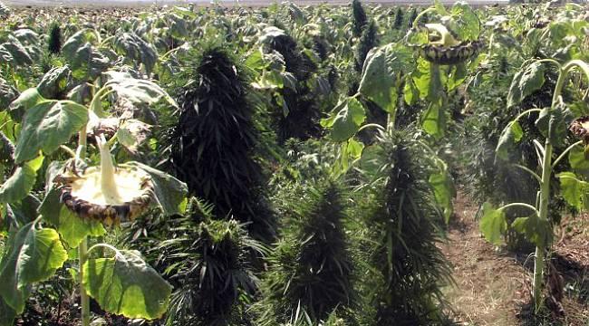 Ayçiçeği Ekili Tarlalarda 250 Bin Kök Hint Keneviri Ele Geçirildi