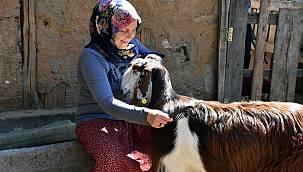 Kuaförlüğü Bırakan Kadın, Mutluluğu Keçi Yetiştiriciliğinde Buldu