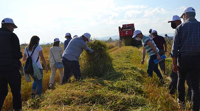 Biga'da Damlama Sulama İle Yetiştirilen Çeltikler Hasat Edildi