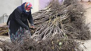Bandırma'da Üretilen Milyonlarca Ceviz Fidanı 33 Ülkeye İhraç Ediliyor