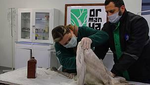 Tüfekle Vurulan Beyaz Kuğu Ormanya'da Tedavi Altına Alındı