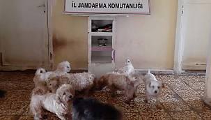 Bursa'da Yurt Dışından Kaçak Sokulup Üretilen 23 Cins Köpek Yakalandı
