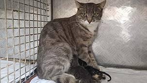 Anne Kedi ve İki Yavrusu Sezaryenle Kurtarıldı