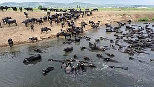 Balıkesir'de Mandaların Afrika'yı Andıran Halleri