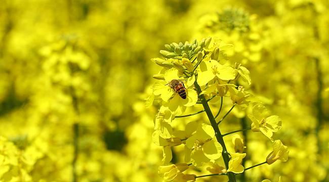 Kanola Üretiminde Arı Ölümlerine Karşı Uyarı