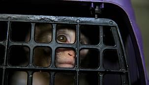 Bakımı Yasak Maymun Koruma Altına Alındı