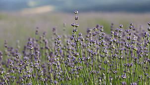 Tekirdağ'da Çiçek Açan Lavanta Tarlaları Göz Kamaştırıyor